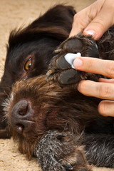 hands smearing cream to the paw of dog