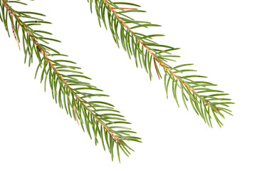 Spruce (Picea abies) branch and needles isolated on white background.