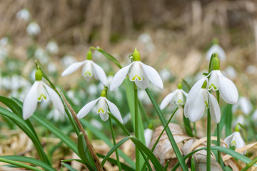 Cluster of common snowdrop flower rising over dry foliage in spring