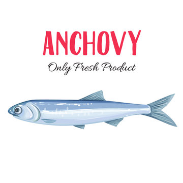 Vector anchovy.