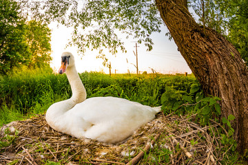 A brooding swan on its nest in the wild