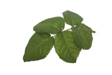rose leaf isolated on white background