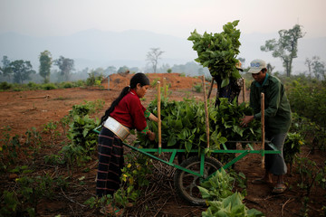 The Wider Image: Myanmar hills embrace silkworms over poppies