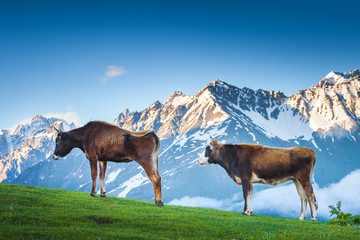 Idyllic summer landscape in the Alps. Two brown cows grazing on fresh green mountain pastures, amazing snow capped mountain in the background. Nature travel background. Sunny day with clear blue sky