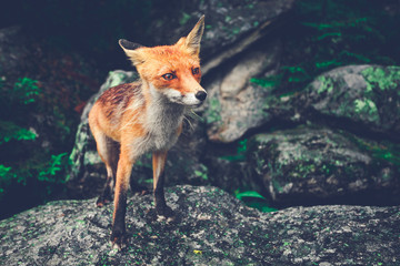 """Lonely little fox standing on the moss covered boulder and probably saying """"I am afraid. I am lost. Don`t hurt me!"""" The conceptual photo. The problem of child and animal abandonment. Tatras, Slovakia."""
