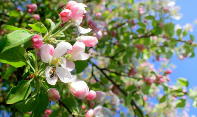 Pink blossom apple tree and bee pollinating apple bloom