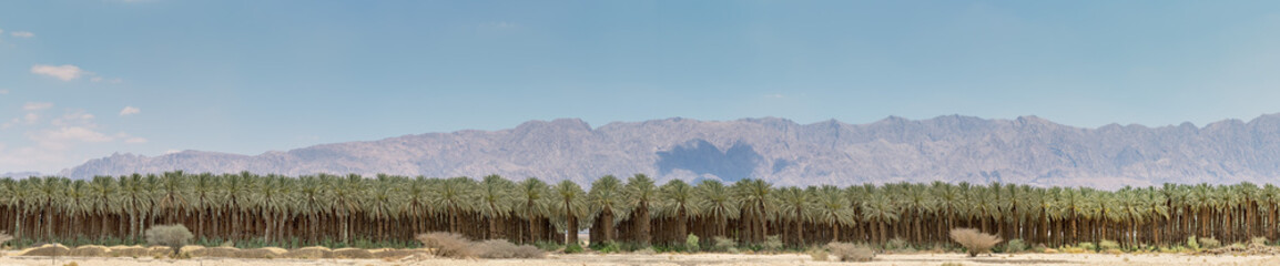 Panorama. Plantation of date palms. Image depicts advanced tropical and desert agriculture in the Middle East