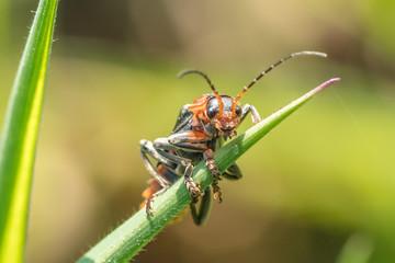 Insekt auf halm