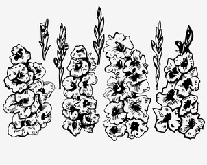 ink graphics gladiolus on white background
