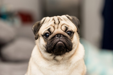 cute pug dog have a question and making funny face,Selective focus