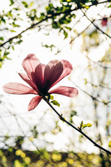 amazing magnolia pink flower in sunlight in green park. tender beauty of blooming in botanical garden in spring. space for text. beautiful moment. relax and spa. springtime.