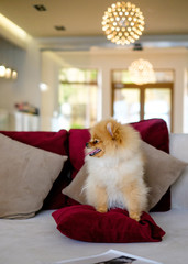 dog pomeranian spitz Sits on a purple couch