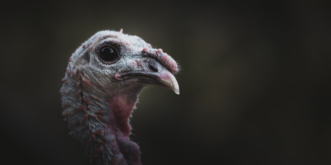 Ugly Wild Turkey