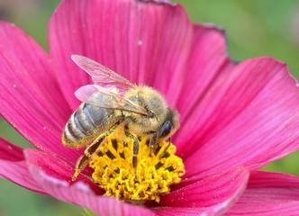 Bestäubung durch Biene