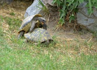 Schildkröten Begattung