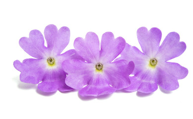 Verbena flowers isolated