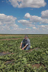 Farmer or agronomist examining watermelon fruit and plant in field