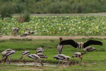 Indian stork in Sri Lanka
