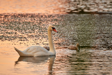 Swan and chicks on the lake in the rays of sunset