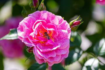 Rose flower in a garden