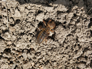 The mole cricket burrows in the ground