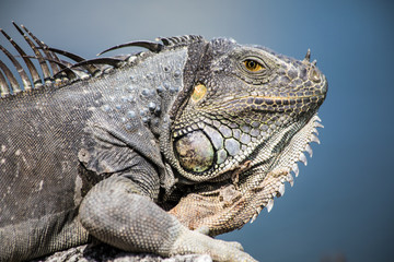 Macro of an Adult Iguana, Florida Wildlife