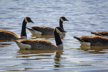 Flock Canadian Geese
