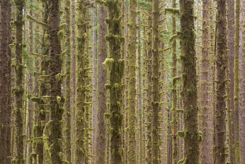Dense grove of trees in Olympic National Forest, Forks, Washington State, USA