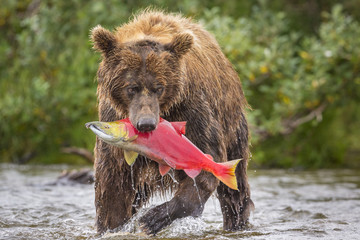 Alaska Peninsula brown bear (Ursus arctos horribilis) with freshly caught salmon, Katmai National Park and Preserve, Alaska, USA