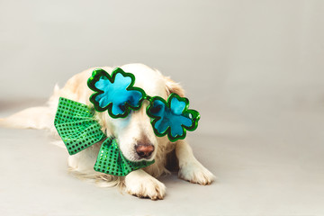 White golden retriever with green bow tie and shamrock party glasses against a grey seamless background