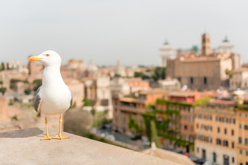 Wall Mural - Closeup of a seagull with central Rome as background, Italy