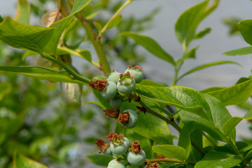 Young blueberry berries ripening on blueberry plants