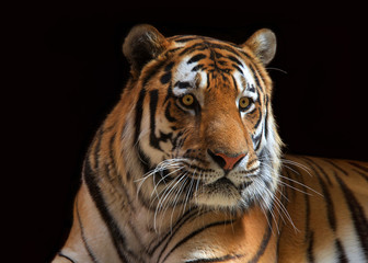 Close up portrait of one male tiger looking to viewers right. The largest cat species, most recognizable for its pattern of dark vertical stripes on reddish orange fur with a lighter underside.