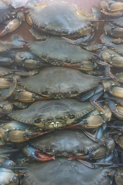 many fresh softshell crabs for sale at the market behind a glass case vertical view