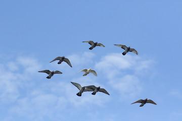 flock of speed racing pigeon bird flying against beautiful blue sky