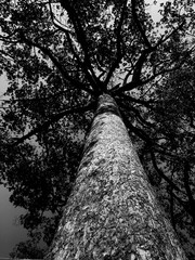 A black and White image of a Black Tree