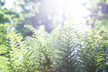 Natural background with green fern leaves in sunlight.
