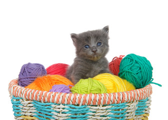 Three week old grey kitten sitting in a basket of yarn balls in multiple colors looking at viewer. Isolated on white background.