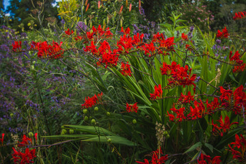 """Crocosmia """"Emberglow""""- bright red-orange flowers in Great Dixter, house and gardens in Northiam, East Sussex"""
