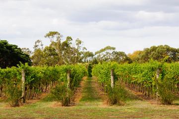 Papiers peints Vignoble Rows of vines in a Bellarine Peninsula vineyard - Geelong, Victoria, Australia