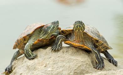 tortoises on a stone