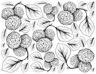 Tropical Fruits, Illustration Wallpaper of Hand Drawn Sketch Fresh Sweet Chinese Mulberries or Morus Australis Fruits Hanging on Tree Branch Isolated on White Background.