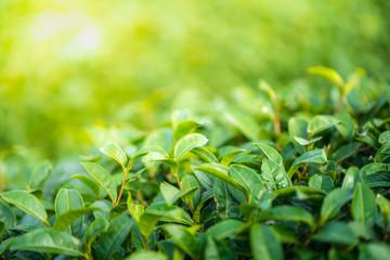 Tea leave in tea plantation