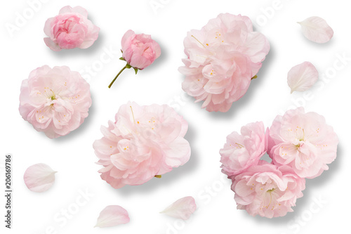 Set of pink flowers buds petals isolated on white background for set of pink flowers buds petals isolated on white background for graphic design mightylinksfo Gallery