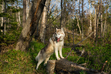 Profile Portrait of prideful beige and white Siberian Husky dog standing on the tree in the forest and enjoying natural landscape at sunset
