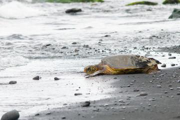 A Hawaiian Honu resting on a black sand beach.
