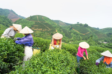 Vietnamese women picking tea leaves at a tea plantation.