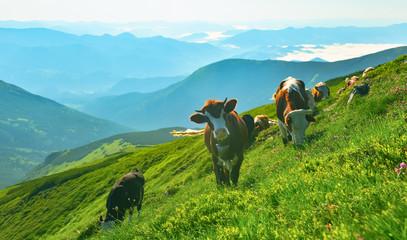 Cows on alpine meadow. Fototapete