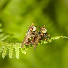 A macro photo of a fruit fly sitting on ferns. Drosophila species.