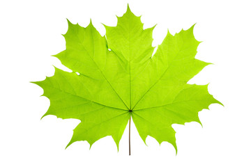 Green Maple Leaf as a spring and summer seasonal themed nature concept also an icon of the fall weather on an isolated white.
